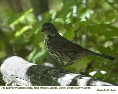Fox Sparrow A20835.jpg