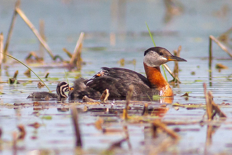 Red-necked Grebe family with young juvenile baby Upper Rice Lake Clearwater County MN IMG_6597.jpg