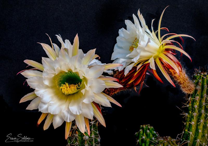 Indian Ridge Flowers 5-8-2019c-.jpg