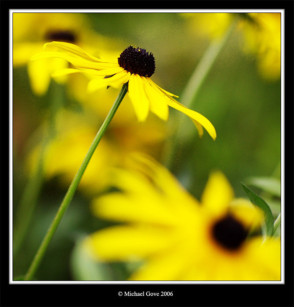 Daisy (65444489).jpg