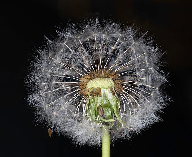 Demi Dandelion