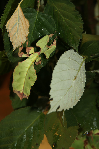 """Walking Leaf"" insect"