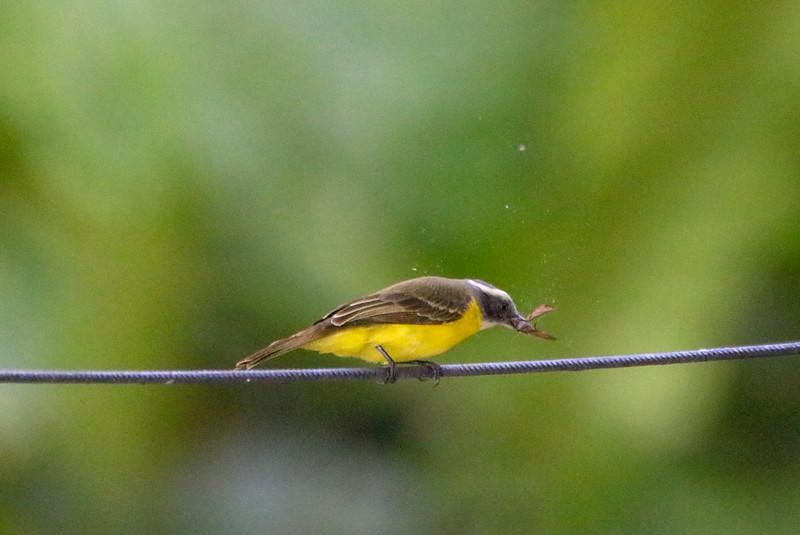 Flycatcher in Action