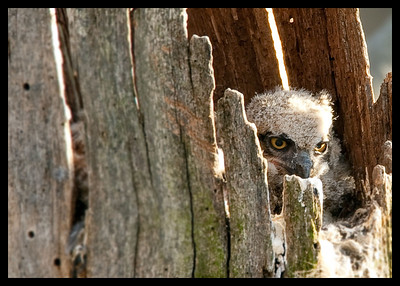 owlets in Charleston Falls '10