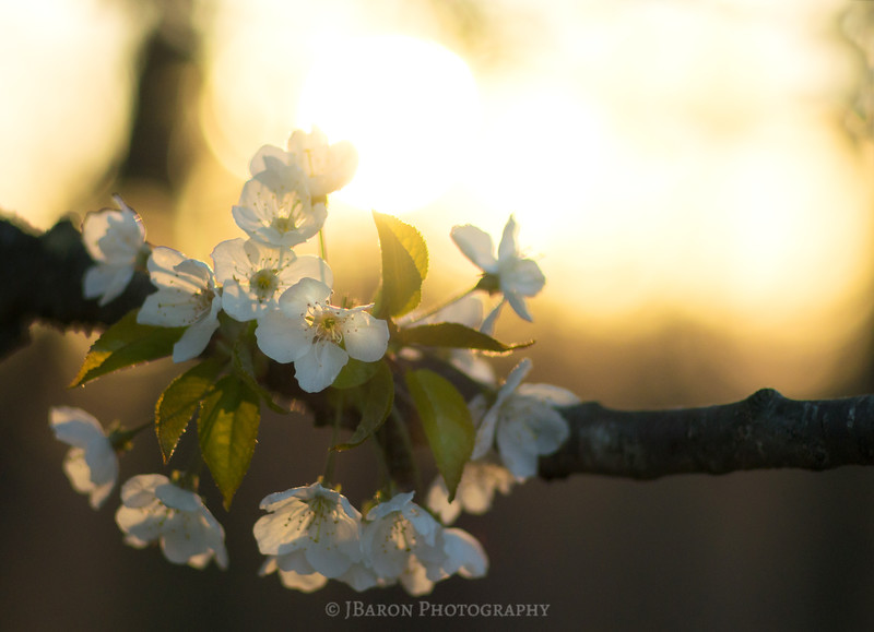 Crabapple Bloom at Sunset