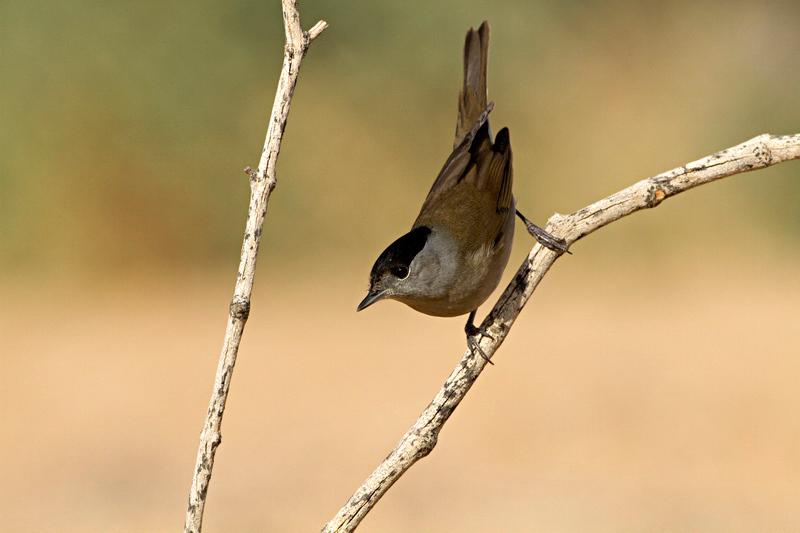Eurasian Blackcap (Sylvia atricapilla) - סבכי שחור כיפה