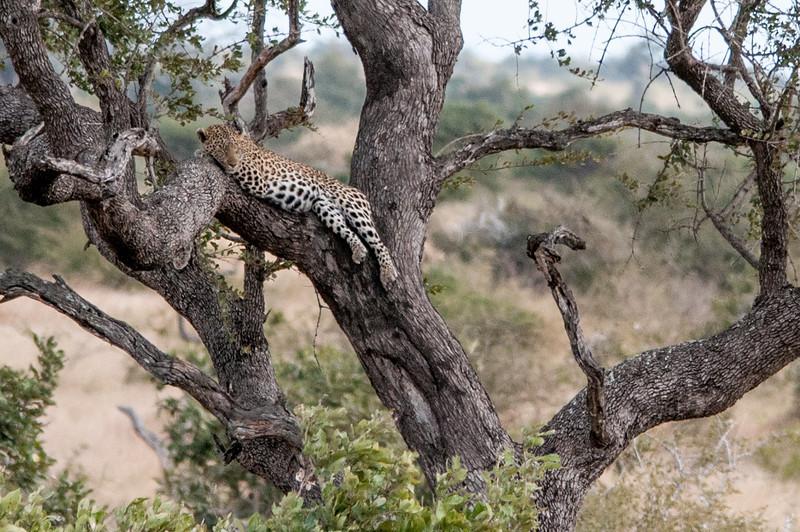 Leopard in a tree in Kruger National Park