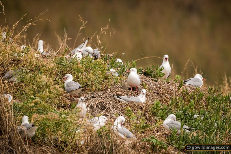 Red-billed Gull Nesting