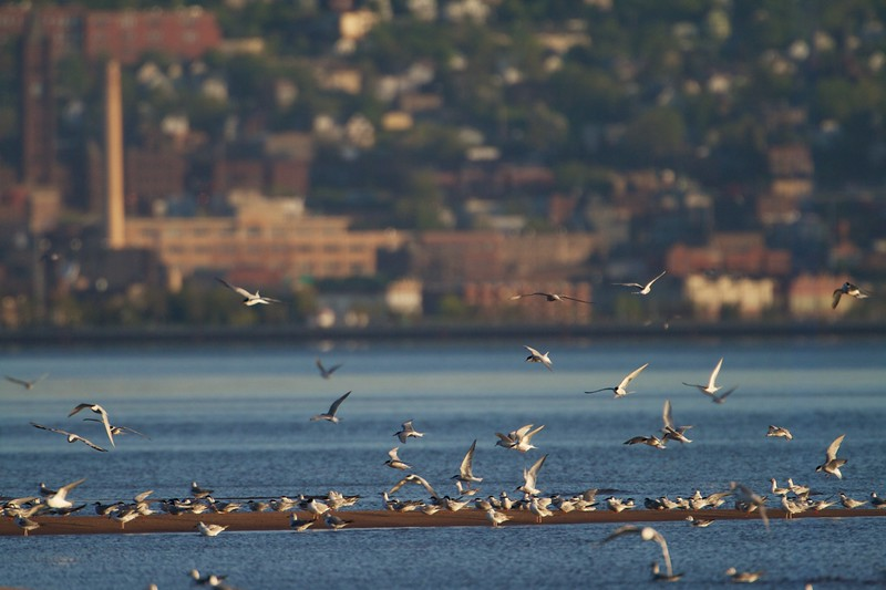 Park Point is the longest freshwater sandspit in the world. And in spring it attracts migrating terns and gulls [May; Park Point, Duluth, Minnesota]