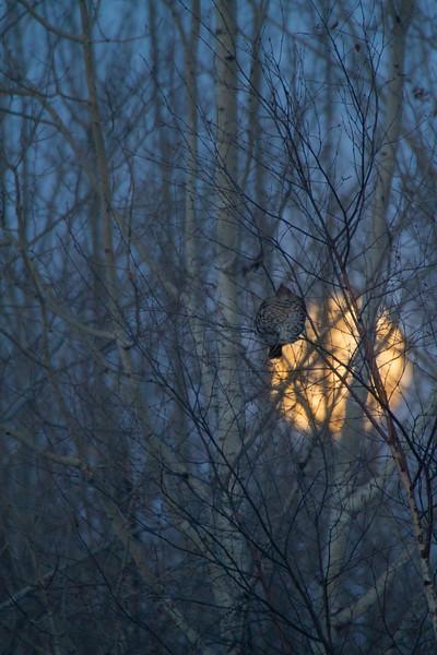 Ruffed Grouse and full moon CR83 Sax-Zim Bog MN-0190.jpg