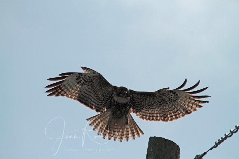 Young Redtail