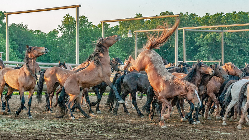 These mustangs arrived in Kansas a day ago, and were placed in this large holding corral for a few days of observation. Part of the time is spent establishing who is in charge.