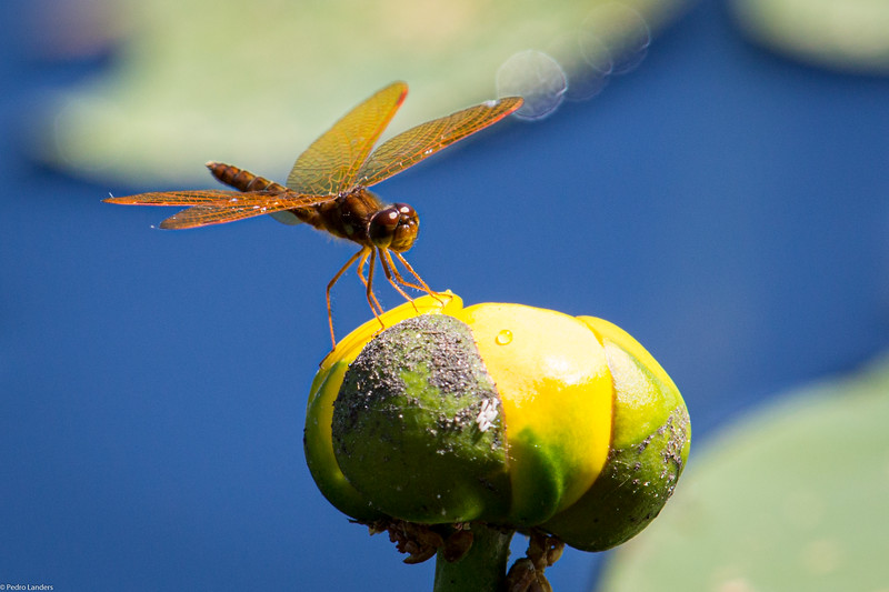 Dragonfly and Lily.jpg