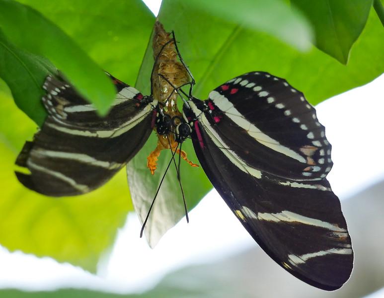 zebra longwings mating