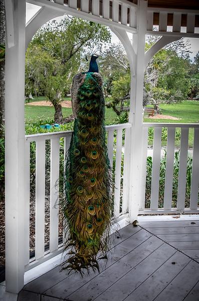 Pretty as a Peacock.jpg