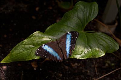 IMG_6565-blu-butterfly-www.jpg