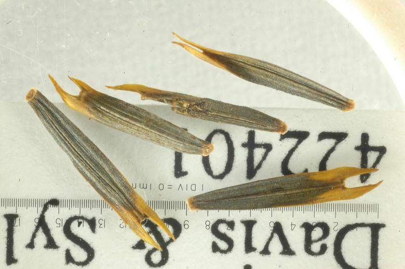 Bidens mauiensis x micrantha BPBM 422401.JPG