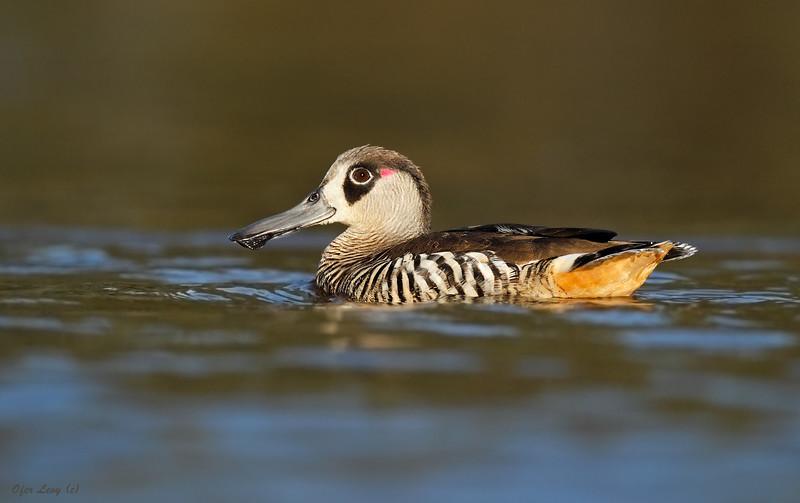 Pink-eared Duck 3.jpg