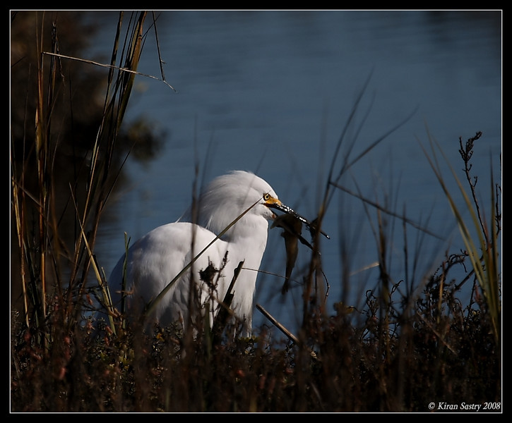 Snowy Egret with feed, Famosa Slough, San Diego County, California, December 2008