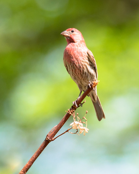 Mr. Red House Finch