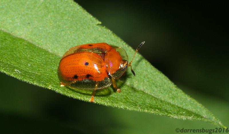 Golden Tortoise Beetle, Charidotella sexpunctata, from Iowa.