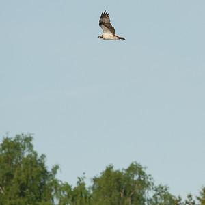 029-01 Pandion haliaetus, Fiskgjuse, Osprey