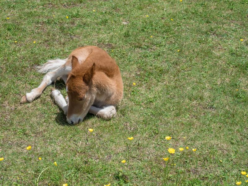 75 Jun 10 2017 GV Foal napping (1 of 1).jpg