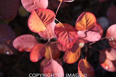 Cotinus: The Fine Art of Leaving