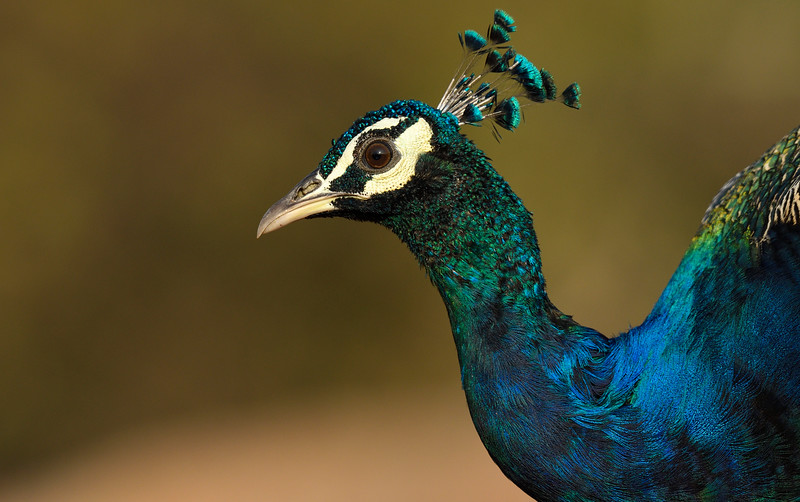 Peafowl-hampi.jpg