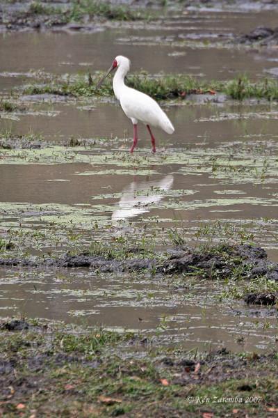 African Spoonbill, Moremi Game Reserve, Okavango Delta, Botswana