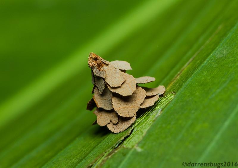 Pagoda Bagworm (Psychidae: genus Pagodiella) from Chiang Mai, Thailand.