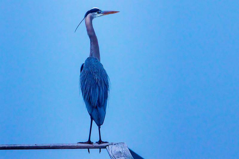 2.1.19 - Prairie Creek Marina: Great Blue Heron