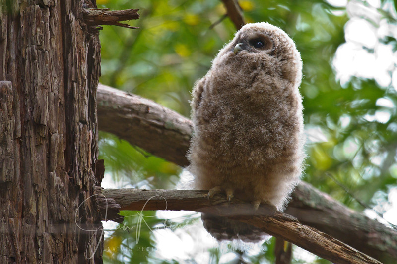 Spotted Owl 06-03-64.jpg