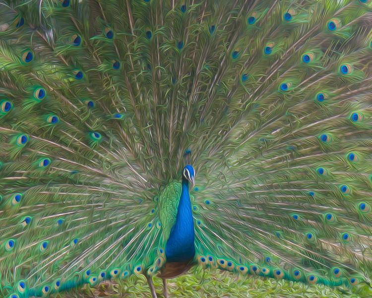 Peacock Plume Oil 8x10-2.jpg