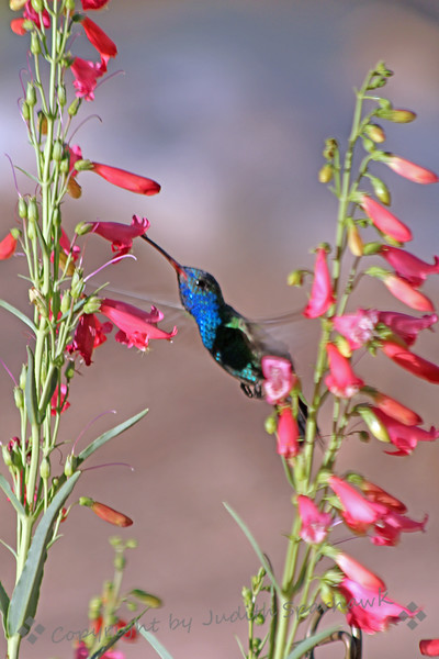Broad-billed Hummingbird ~ This hummingbird was photographed in the garden at Ash Canyon, in the Huachuca Mountains in Southeast Arizona.
