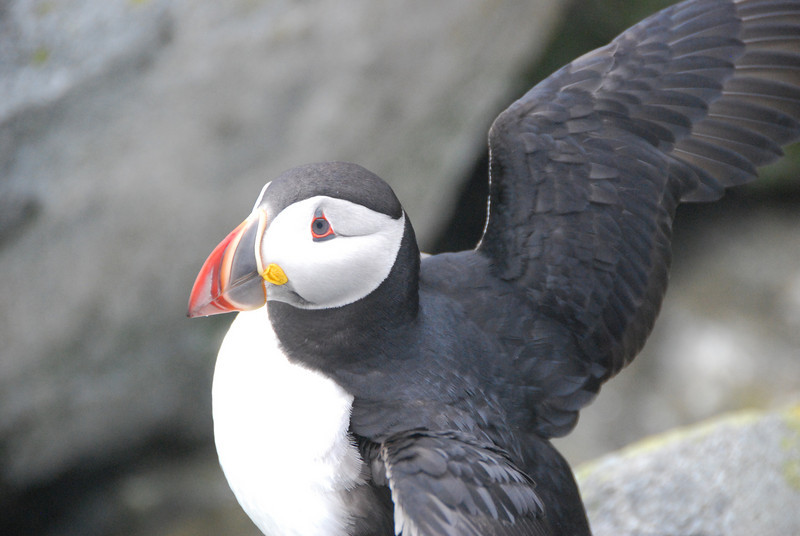 Machias Seal Island Trip - 056