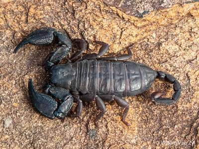 Cape Creeper Scorpion (Opisthacanthus capensis)