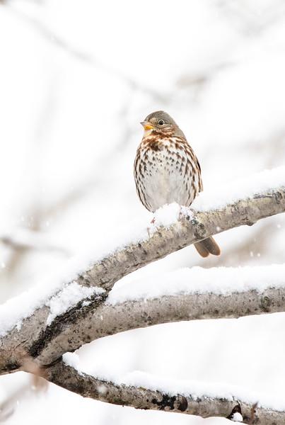 Fox Sparrow in snow October Skogstjarna Carlton County MN  IMGC7853.jpg