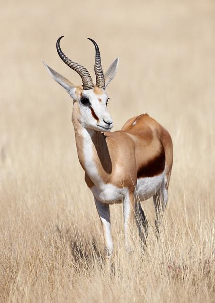 Springbok - 7757.jpg