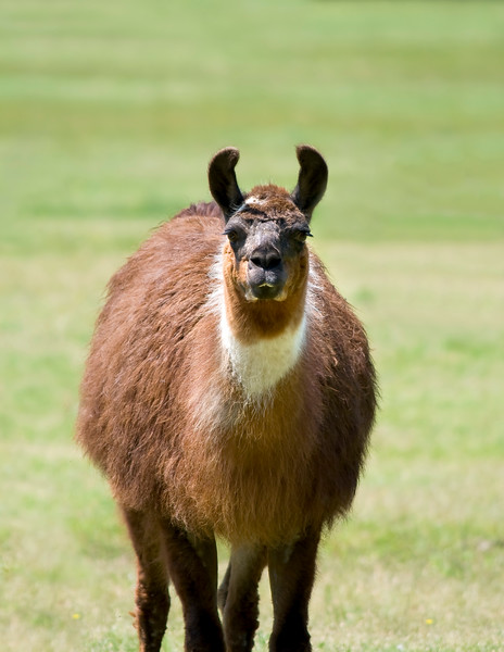 Brown and white llama curiously staring and standing in a grassy meadow. Photography fine art photo prints print photos photograph photographs image images artwork.