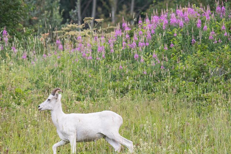 Dall Sheep Alaska 2019-2.jpg