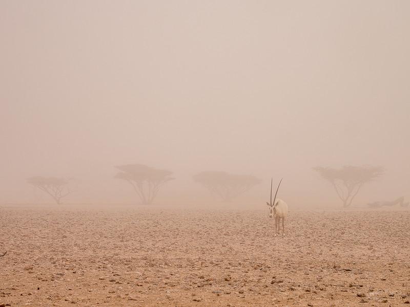 Arabian Oryx (84).jpg