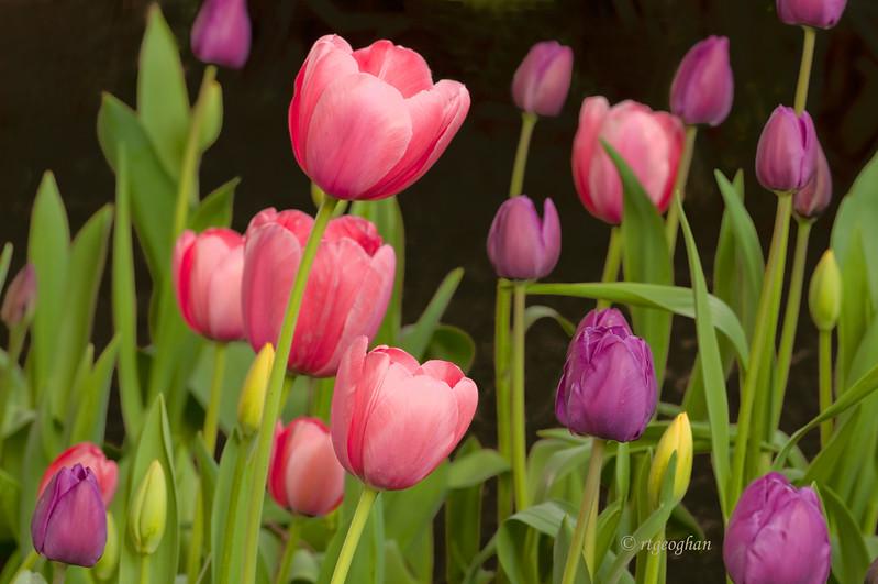 Tulip Garden_April 20_1865.jpg