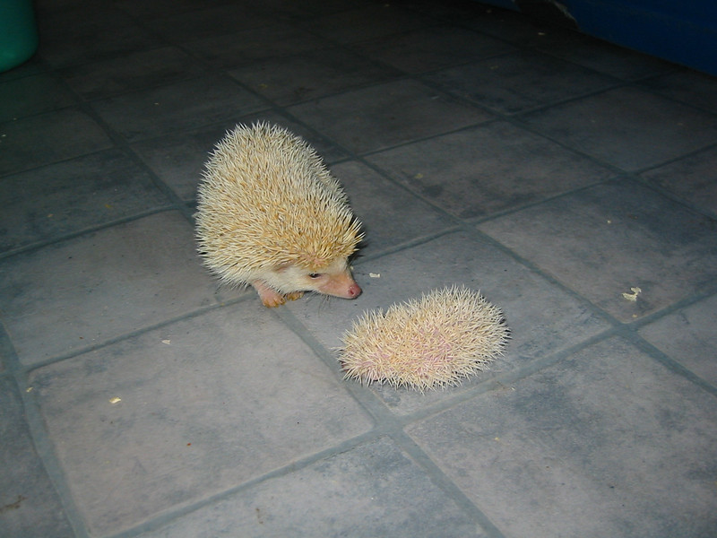 Litter - SCSI and Dixie Cup (06/30/2004)    Filename reference: 20040722-191908-HAH-Hedgehog_Babies