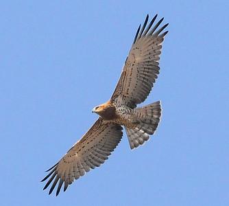Birds of the Costa Blanca - Non-passerines