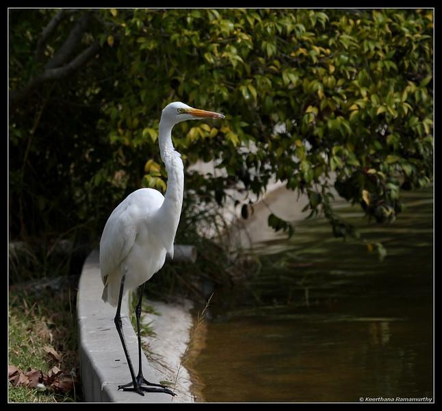 Great Egret, El Camino Memorial Park, San Diego County, California, February 2009
