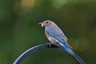 Bluebird Feast 07/02/11