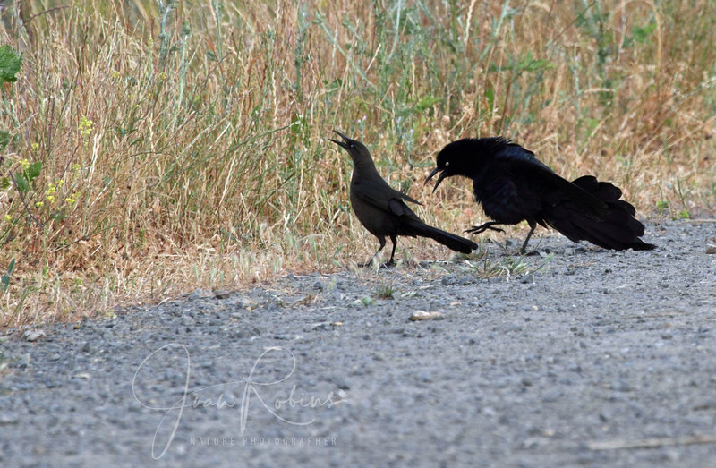 Great-tailed Grackle wooing