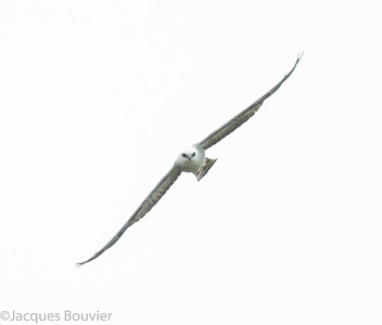 Birds of Prey 1 (no owls) - Oiseaux de proie 1 (strigidés exclus)