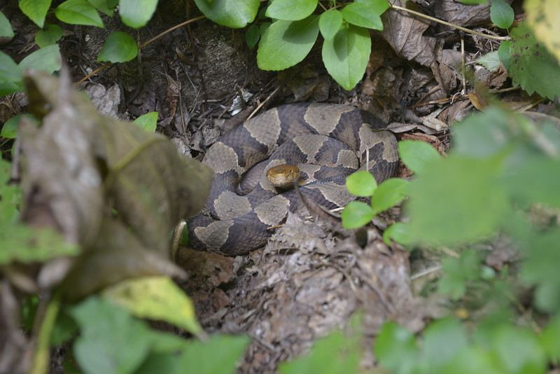 Copperhead Snake at Anna Ruby Falls, I had a 200  MM Lense on my Nikon D800 so I was 10 ft away from this snake.